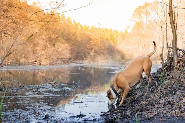 犬は森林湖からの純粋な水を飲みます。美しい自然の概念を探る:森の中でハイキング旅行に飼い犬