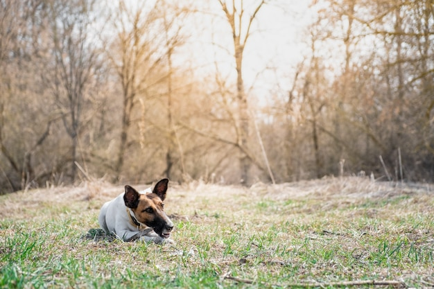 公園で棒を噛んでフォックステリア子犬。