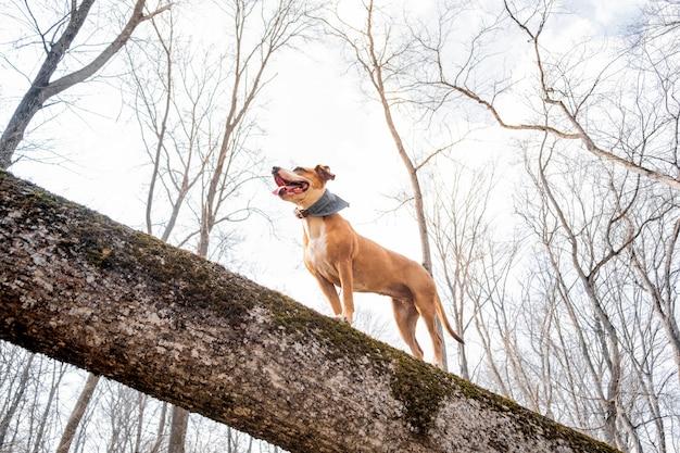 森の中の冒険犬。ハッピースタッフォードシャーテリアは森の丸太を登り、健康的なアクティブライフ、ヒーローショットビューを楽しんでいます