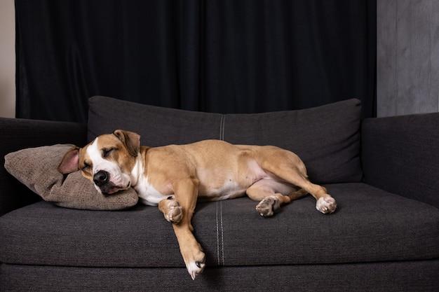 ソファで寝ている犬。居心地の良いリビングルームのソファーで休んでかわいいスタッフォードシャーテリア