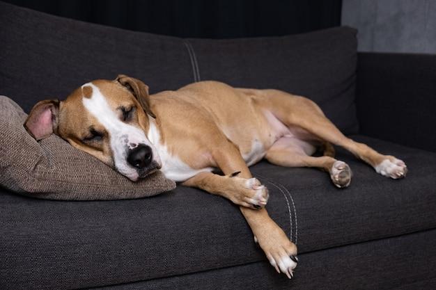 ソファで寝ている犬。居心地の良いリビングルームのソファーで休んでスタッフォードシャーテリアの肖像画