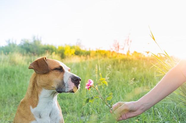 人間はかわいい子犬に野バラを屋外に与えます