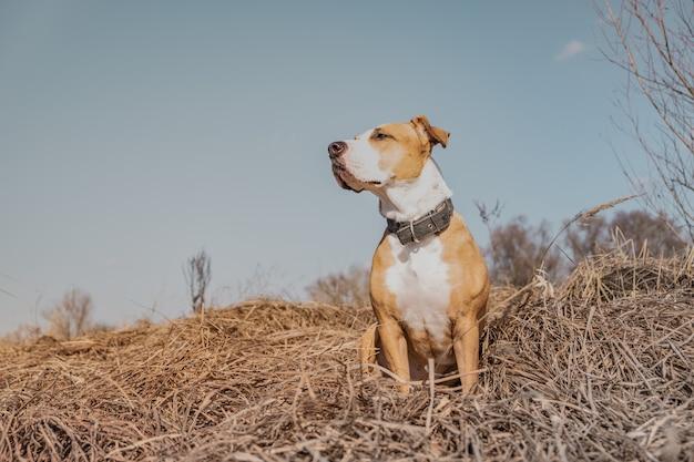 フィールドで美しい犬、ヒーローショット。晴れた春または秋の日に屋外で混合された犬の肖像画、ソーシャルメディアの効果が見えるように編集