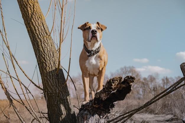 乾燥した木の上に立っているフィールドで美しい犬、ヒーローショット。晴れた春または秋の日に屋外で混合された品種犬の肖像画、創造的に色編集