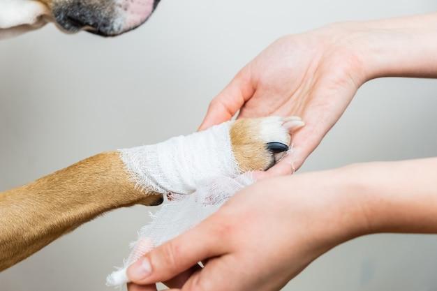 ペットの概念の治療:犬の足の包帯。犬のクローズアップビューの負傷した身体部分に包帯を適用する手。