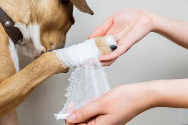 Лечение животных концепции: перевязать собачью лапу. руки накладывают повязку на раненную часть тела собаки