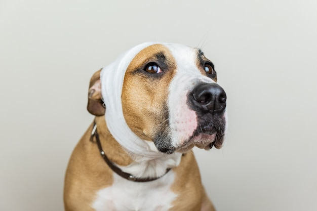病気または負傷したペットのコンセプト。白い背景で包帯を頭に犬の肖像画