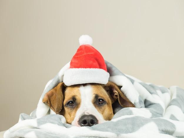 ベッドで横になっているスローブランケットサンタクロースクリスマス帽子のスタッフォードシャーテリア子犬の肖像画