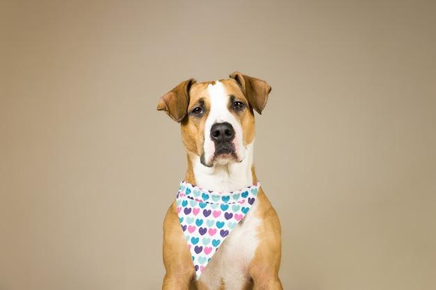 心を持つバンダナでかわいいスタッフォードシャーテリア犬