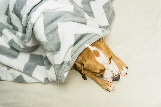 整頓されたミニマルなベッドで屋内で休んでいる格子縞で覆われた眠そうなスタッフォードシャーテリア子犬