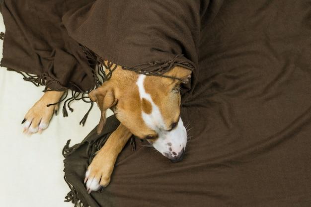 整頓されたミニマルなベッドで屋内で休んでいる格子縞で覆われた眠そうなスタッフォードシャーテリア犬