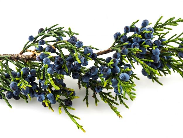 Вечнозеленая ветвь можжевельника с ягодами на белом столе