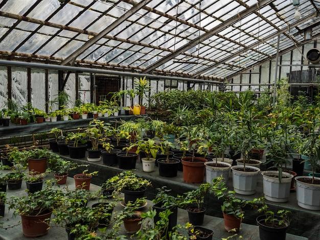 テーブルの鍋にさまざまな色がたくさんある温室。艶をかけられた温室の観葉植物
