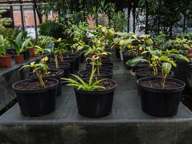 鉢の花は温室のテーブルの上に立っています。たくさんの種類の観葉植物です。春の気分