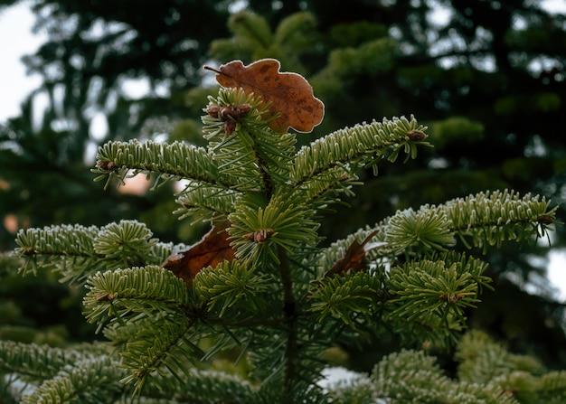 Замороженный дубовый лист на зеленых еловых ветках