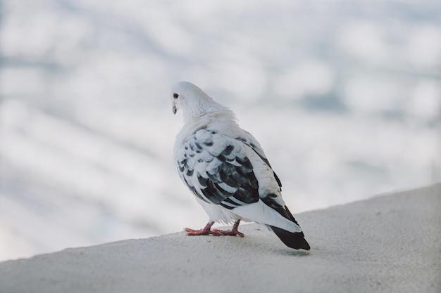 Красивый белый голубь на балконе