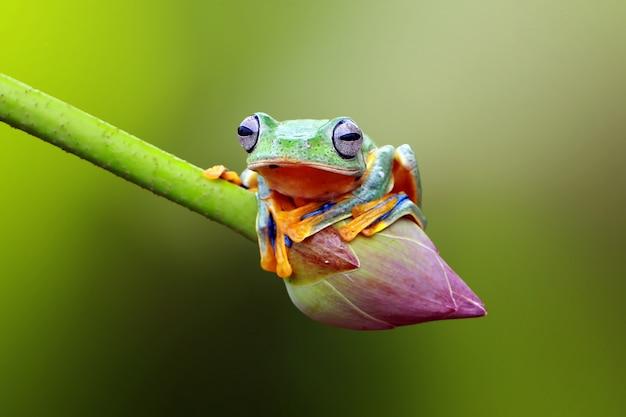 蓮の花に飛んでいるカエル