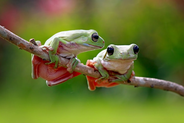 Зеленая древесная лягушка, унылая лягушка, папуа зеленая древесная лягушка