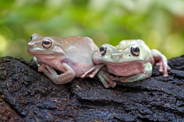 緑のアマガエル、だまされやすいカエル、パプア