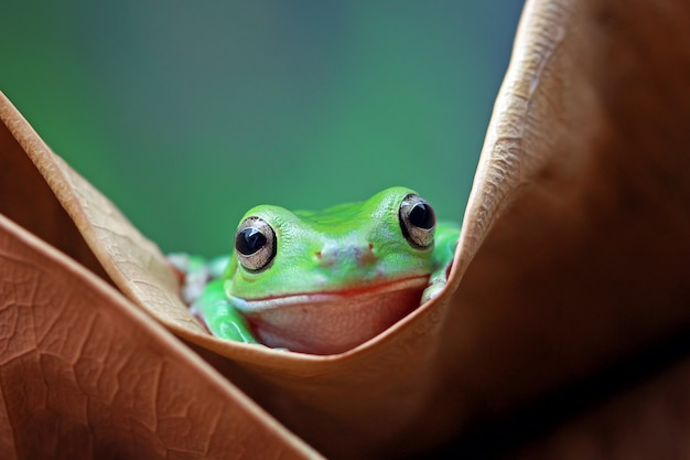 緑のアマガエル、だまされやすいカエル、パプア緑のアマガエル、死葉の上