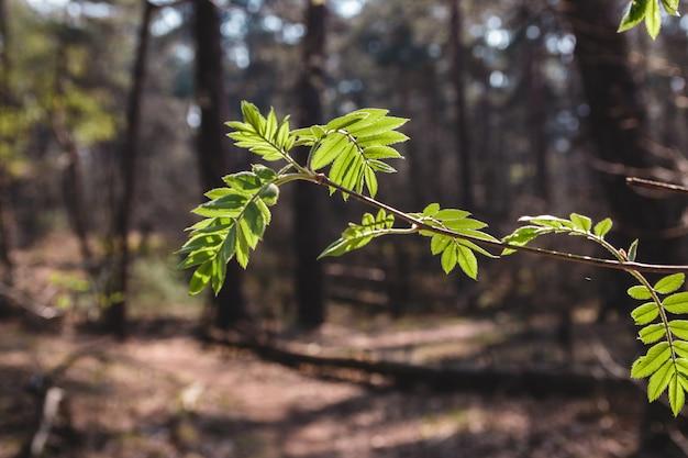 Первые зеленые листья весны. заделывают веточку с зелеными листьями по утрам
