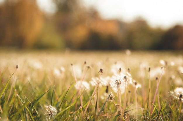 Красивая осень размытым фоном оранжево-желтого поля с одуванчиками без пуха на закате