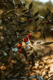 Красные фрукты на дереве крупным планом