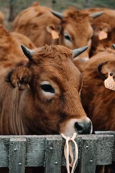 カメラから離れている牛