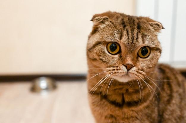 Полосатый шотландский кот ждет еду на кухне. здоровая кошачья диета