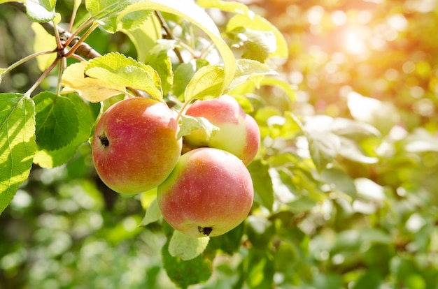 非常に新鮮なリンゴとリンゴの木