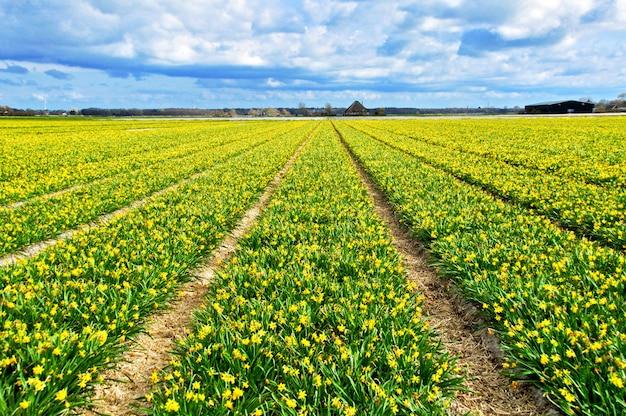 美しい黄色の水仙フィールド、オランダの春