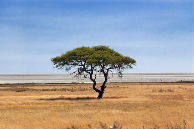 美しい木。アフリカの自然保護区、エトーシャパン、ナミビア