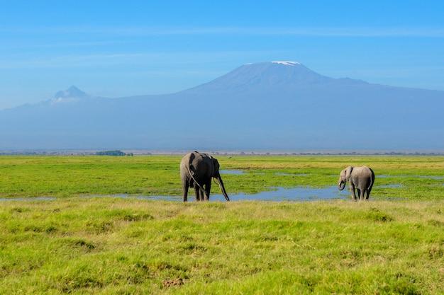 Красивая гора килиманджаро и слоны, кения, национальный парк амбосели, африка