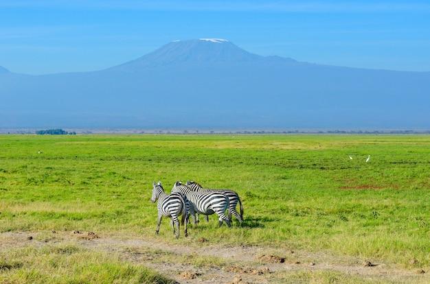 Красивая гора килиманджаро и зебры, кения, национальный парк амбосели, африка