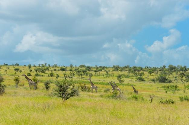 Африканский пейзаж саванны с животными, южная африка