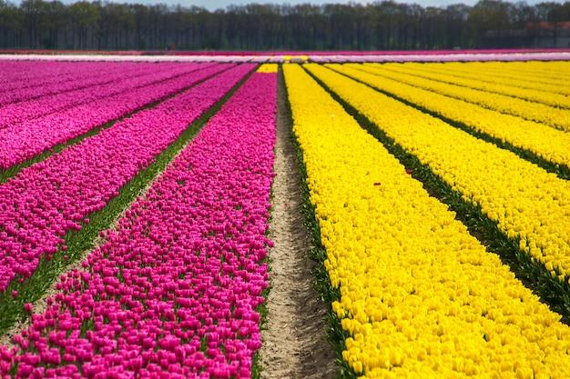 オランダの春のチューリップ畑、オランダの色とりどりの花