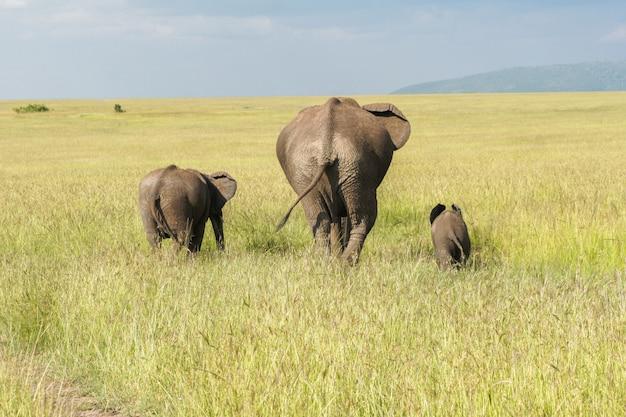 サバンナ、ケニアのマサイマラ国立公園で子牛を持つアフリカゾウ家族