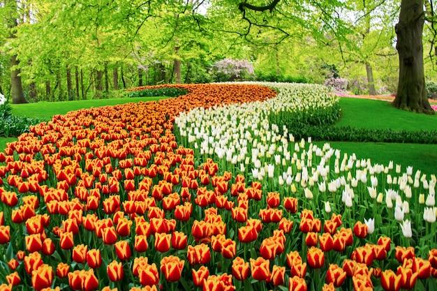 Красивые весенние тюльпаны цветы в парке в нидерландах