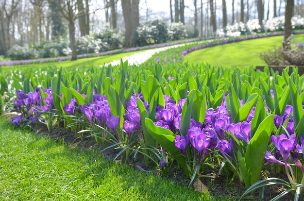 オランダの公園の美しいカラフルな春の花