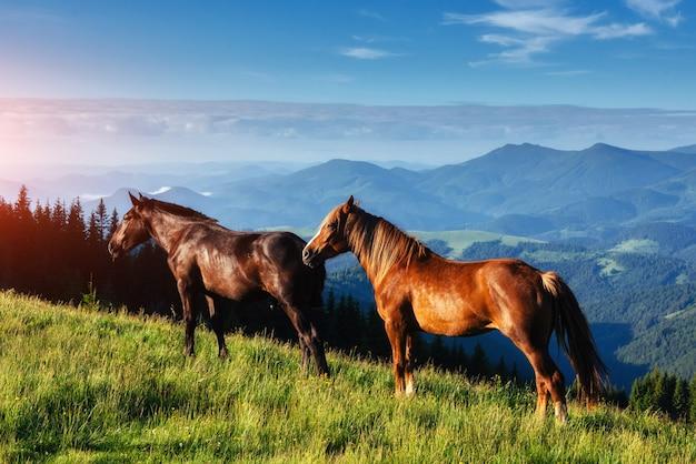 日没の光線で高地牧草地カルパティア山脈の草の上の馬