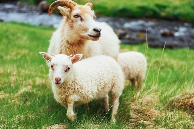 アイスランドの羊