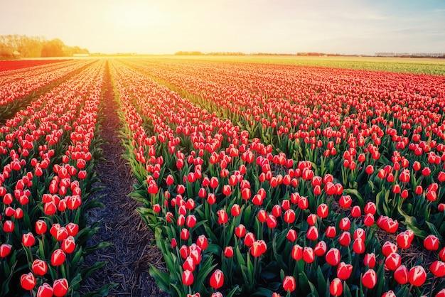 オランダの赤いチューリップの美しいフィールド。