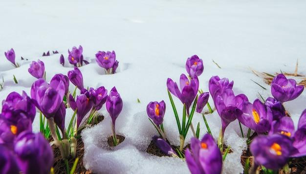 雪が溶ける春のクロッカス