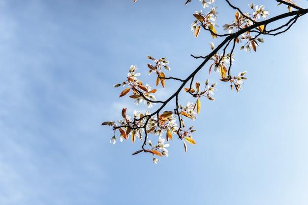 木の枝に美しいピンクの春の花モクレン