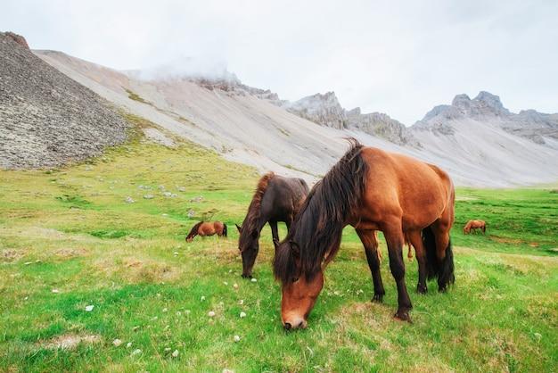 山のある牧草地で魅力的なアイスランドの馬