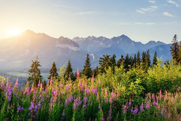 Полевые цветы на закате в горах. польша. закопане