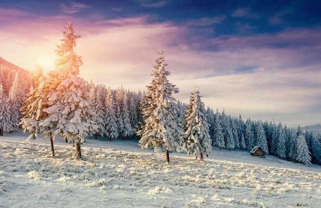 冬の霜で雪に覆われた木に沈む夕日