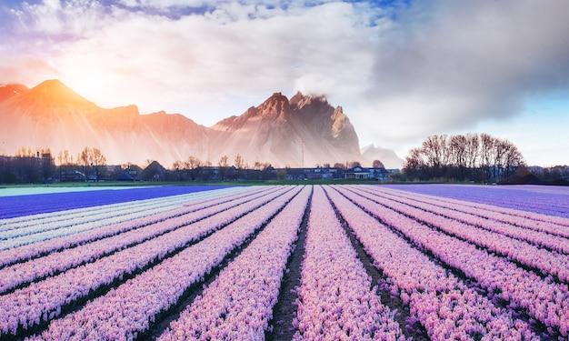 オランダと美しい山のヒヤシンス畑