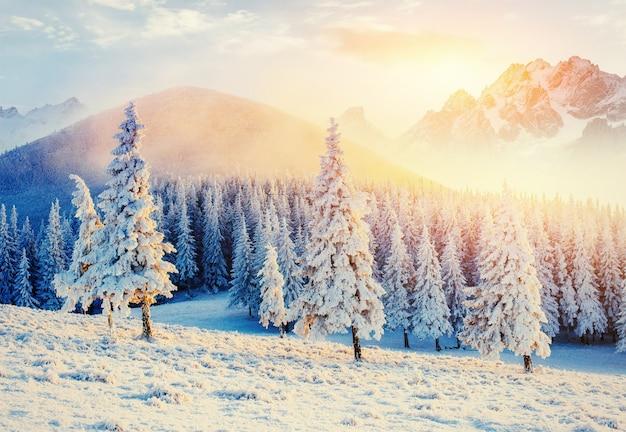 魔法の冬の雪に覆われた木。カルパティア山脈の夕日。