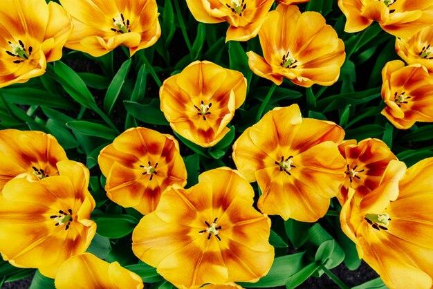 美しいオレンジ色のチューリップ、春の花。